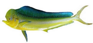 Mahi Mahi-2