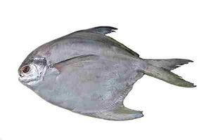 Pomfret Silver Large (Rupchanda) 16 Ounces