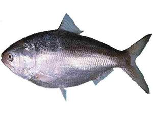 Whole Hilsa 2 lbs (Elish)